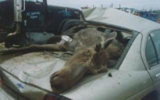 Какой штраф за сбитого лося на дороге